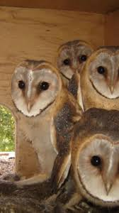 1403 Best Owl Over It Images On Pinterest | Barn Owls, Beautiful ... Farmer Saves Rat From Death In Her Own Barn Redwood Coast Aazk Rat Poison Alternatives Mouse Poop Droppings Victor The Chicken Chick 15 Tips To Control Rodents Around Coops Black Rattus Rattus Foraging Of Farm Stock Photo Barn Owl About Enter Its Nest Carrying A Dead For Young Nose Work Hunt 44094 Kangaroo Rats San Diego Zoo Institute Cservation Research Mice And New York The Barn Rat Blog Remains Found Within The Wall During