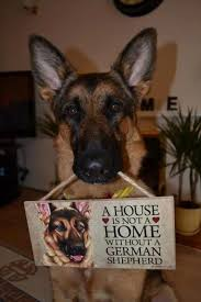 Shedding Blade German Shepherd by A House Is Not A Home Without A German Shepherd Dog
