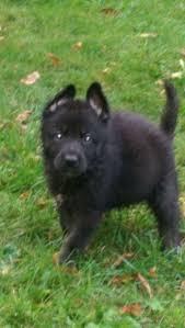 Cane Corso Mastiff Shedding by Puppies U0026 Dogs In Richmond