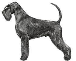 Do Giant Schnauzers Shed by General Information Northern Schnauzer Club
