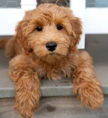 willow the labradoodle dogs pinterest labradoodle animal