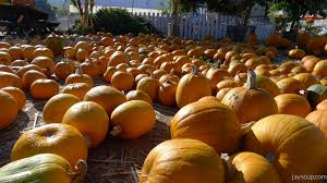 Half Moon Bay Pumpkin Patch 2015 by Annual Pumpkin Carving Party Jay U0027s Cup