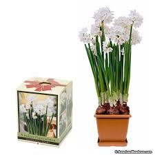 paperwhite plastic pot kit narcissus american