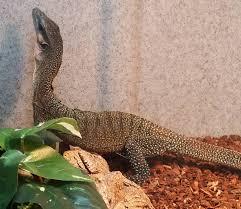 Crested Gecko Shedding Behavior by Sale