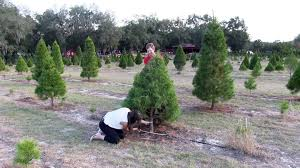 Eustis Christmas Tree Farm by Where You Can Cut Down Your Own Christmas Tree Orlando Sentinel