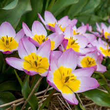 perennial tulips flower bulbs at wholesale prices