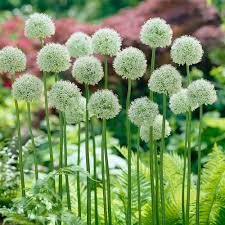 allium flower flower bulbs garden plants flowers the home