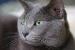 russian cat names russian blue cat lovetoknow