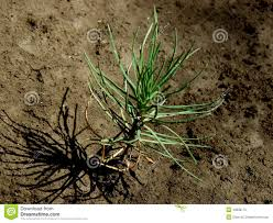 Christmas Tree Saplings Ireland by Tiny Pine Tree Seedling Stock Image Image Of Agriculture 49008175