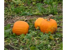 Best Pumpkin Patches Near Milwaukee by Pumpkin Patches In Tri Valley San Ramon Ca Patch