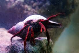 Halloween Hermit Crab Lifespan by Hermitdisfaqs