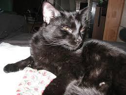 bombay cats 28 best bombay cats images on bombay cat black cats