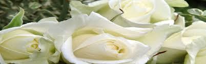 Roses David Austin Ecuador Dutch