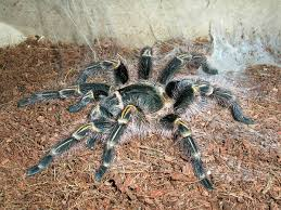 Do Tarantulas Shed Their Legs by Grammostola Pulchripes Wikipedia