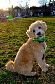 Non Shedding Dog Breeds With Pictures by Oltre 25 Fantastiche Idee Su Razze Di Cani Ipoallergeniche Su