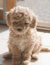 Top 10 Dogs That Dont Shed by We U0027ve Been Visiting Nurse Forums And Message Boards Sometimes And