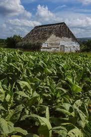 Cuba Pinar Del Rio Vinales Barn Surrounded By Tobacco Fields
