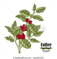 Hand Drawn Coffee Plant With Berries And Leaves Vector Illustration In Sketch Sryle