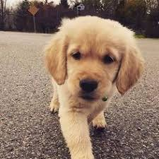 confused in dog breeds see a comparison between golden retriever