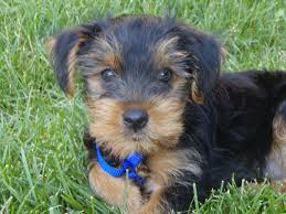 Non Shedding Small Dog Breeds List by All About Yorkies