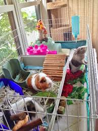 Pine Bedding For Guinea Pigs by 57 Best Guinea Pig Images On Pinterest Guinea Pigs Rabbit