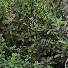 azalée du japon ho oden rhododendron x kurume ho oden azalea