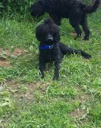 Portuguese Water Dog Shedding Problems by South Creek Puppies