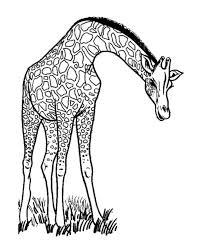 Wild Animal Coloring Page Free Printable Long Neck Giraffe Eating Sheets