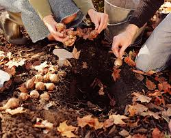 when should i plant my blooming bulbs