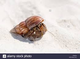 Halloween Hermit Crab Molting by 100 Halloween Hermit Crabs Reef Safe Hermit Crabs