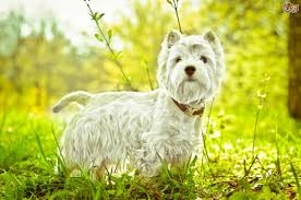 Stop Rat Terrier Shedding by West Highland Terrier Dog Breed Information Buying Advice Photos