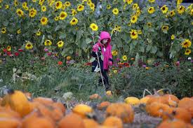 G M Pumpkin Patch Livermore Ca by Nixon Farms Pumpkin Patch