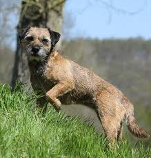 Border Terrier Non Shedding by Border Terrier A Complete Guide The Happy Puppy Site