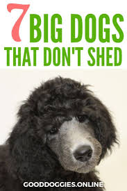 Small Dogs That Dont Shed Hair by Best 25 Dog Breeds That Dont Shed Ideas On Pinterest
