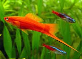 poisson eau douce aquarium tropical animaux de a à z