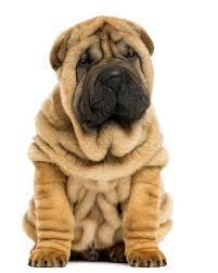 Do Shar Peis Shed A Lot by Shar Pei Puppies Breed Information U0026 Puppies For Sale