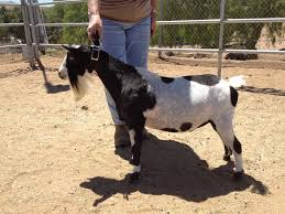 Desert Breeze Ranch, Quality Nigerian Dwarf Goats Allstate Barn Tour Central 2017iowa Foundation Choke Tubes Buck General Shelters Portable Storage Buildings 6 Bedroom Cabin Rental In Broken Bow Lake The Stops Here From My Front Porch To Yours Diy Crossbuckbarn Door Ding Room Sliding Doors Yard Great Country Garages Meet Greet Goats Gipop Acres Jos Monday Walk Simply Church Stretton Rtlessjo Off Work Ruffled Feathers And Spilled Milk