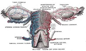 Shedding Of The Uterine Lining Is Called by Anatomy Britannica Com