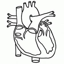 6 Best Images Of Anatomical Heart Outline Printable