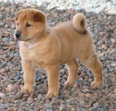 Do Shar Peis Shed A Lot by Golden Pei Mix Of Chinese Shar Pei And Golden Retriever