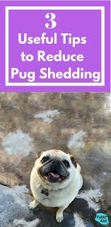 do pugs and puggles shed the 25 best pug facts ideas on pugs pug puppies and