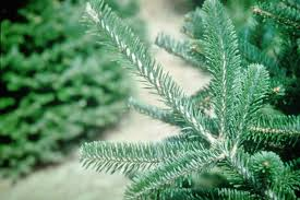 Christmas Tree Species Usa by Best Living Christmas Tree Types Hgtv