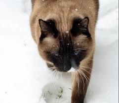 snowshoe cat snowshoe petmd