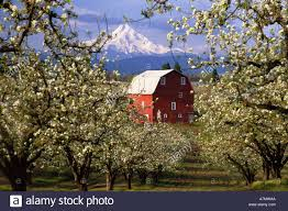 N.A., USA, Oregon, Hood River County. Red Barn In Pear Orchard In ... Rustic Autumn Wedding Weston Red Barn Farm In Kc Mo Mini Shop Cellar Orchard Wood Shed All On And Stock Photo Image 59789270 Minnesota Harvest Apple Weddingreception Venue The At Gibbet Hill Pictures From The Orchard Weve Got Your Favorite Review Of Park Na Usa Oregon Hood River County Barn Pear Building And Golden Ears Coast Mountains Fall Landscape Unique Bolton Ma A Red Schartner Massachusetts Best Horse Designs Hardscape Design