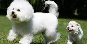 Dogs That Shed Very Little by Top 17 Least Shedding Cat Breeds Cattime Cats That Shed The Least