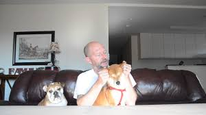 Do Shiba Dogs Shed by Shiba Inu More Pros Than Cons Thats Why I Have One 2017 Youtube