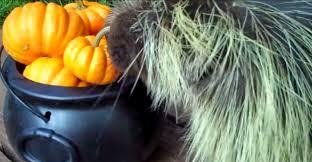 Porcupine Eats Pumpkin by Shellhawk U0027s Nest October 2014