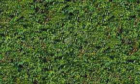 Green Hedge Texture Seamless 13097
