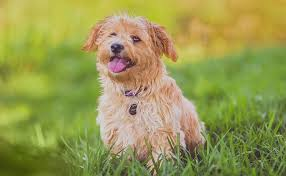 Low Shed Dog Breeds by The 10 Dog Breeds That Shed The Least U2013 Iheartdogs Com