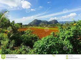 Pinar Del Rio Region On Cuba Tobacco Farm Field In Vinales Town With Mogotes Rocks Background